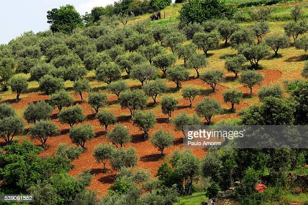 cork trees in the rural forest in portugal - cork tree stock photos and pictures