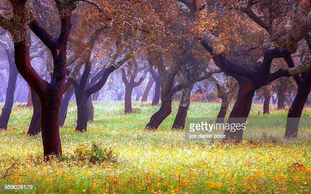 cork trees - cork material stock photos and pictures