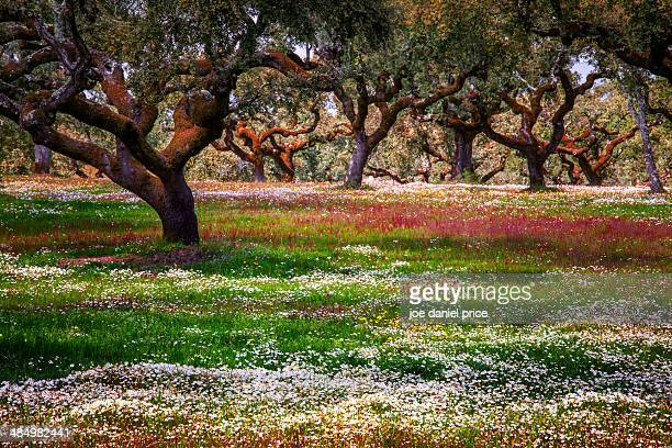 cork trees wild flowers - cork tree stock photos and pictures
