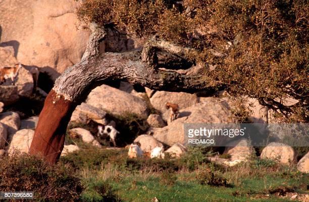 Corkoak Aggius Sardinia Italy
