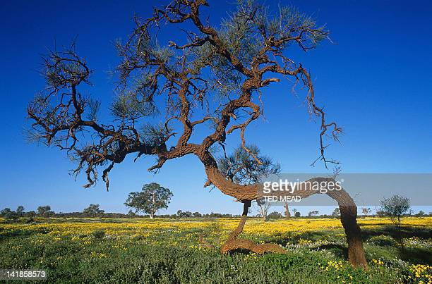 A Corkwood Tree ( Hakea suberea ) amidst wildflowers in Central Australia.