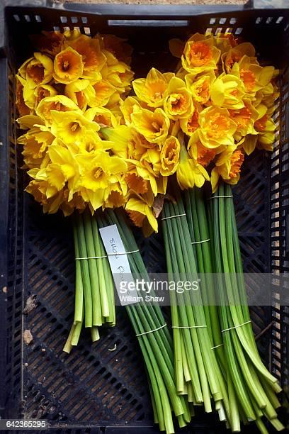 Cormish Daffodils