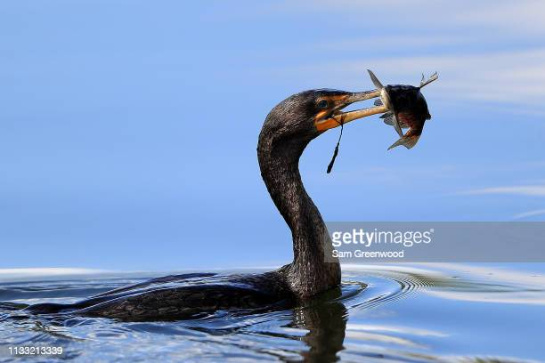 A cormorant as seen on the course during the third round of the Honda Classic at PGA National Resort and Spa on March 02 2019 in Palm Beach Gardens...