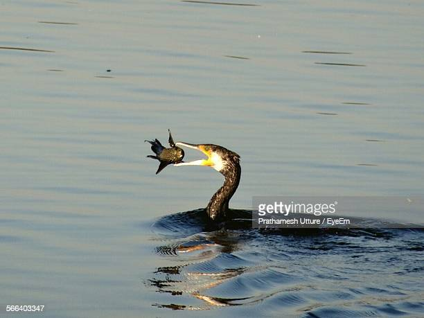 Cormorant Hunted Fish In Lake