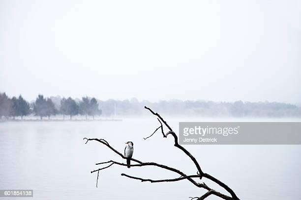Cormorant on branch at lake
