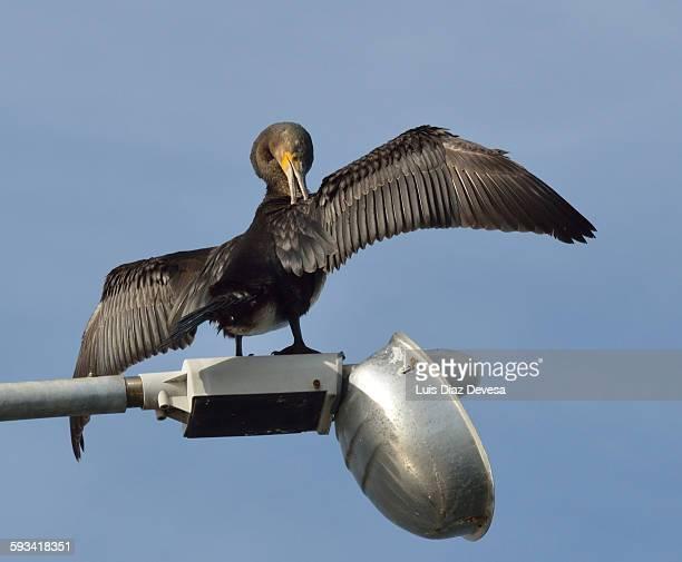 Cormorant preening its wings