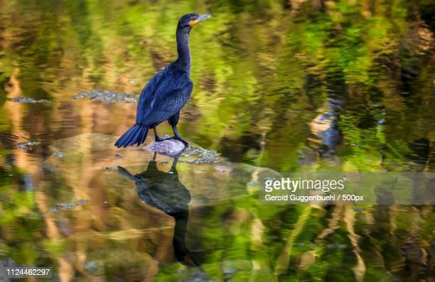 cormorant standing on stone in lake - gerold guggenbuehl stock-fotos und bilder
