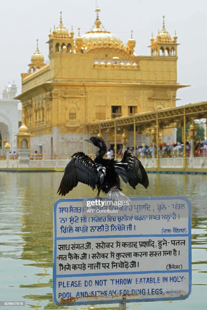 A cormorant stands on a sign after diving at the holy sarovar at the Golden temple in Amritsar on August 11 2017 / AFP PHOTO / NARINDER NANU