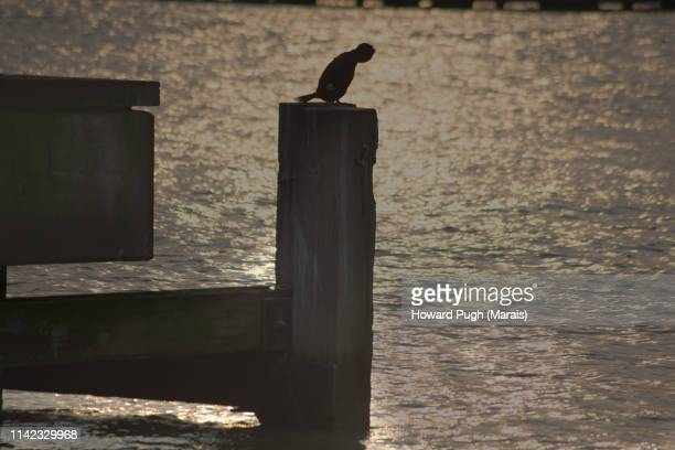 Cormorant Sunset Battersea Upon River Thames