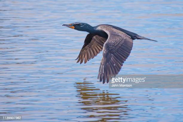 cormorant water bird in flight - rookery stock pictures, royalty-free photos & images