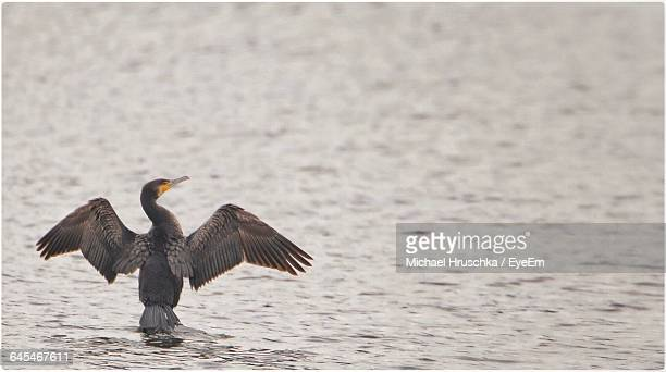 cormorant with spread wings on sea - michael hruschka stock pictures, royalty-free photos & images