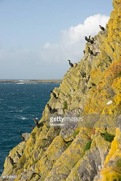 cormorani di sumburgh testa, delle shetland - isole shetland foto e immagini stock