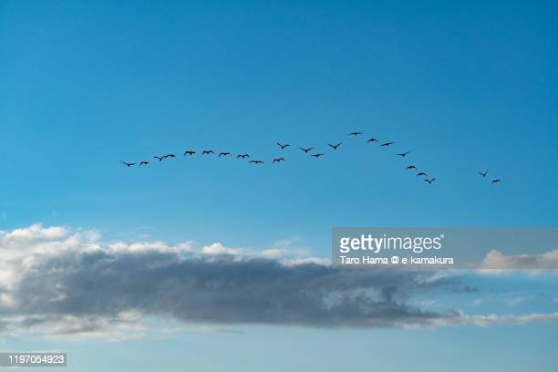 cormorants flying in the blue sky in kanagawa prefecture of japan - 神奈川県 ストックフォトと画像