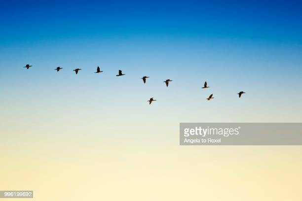 cormorants (phalacrocorax carbo) in flight, essoauira, morocco - birds flying stock photos and pictures