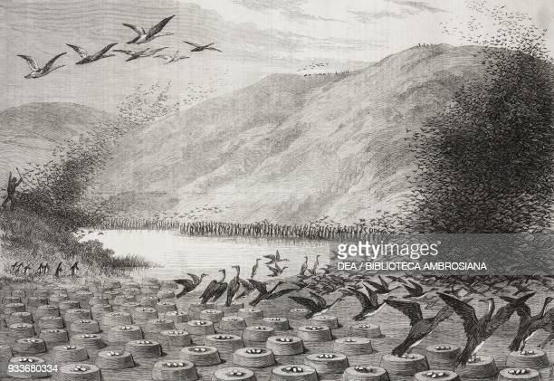 Cormorants' nests on Magdalena Island Strait of Magellan Chile illustration from the magazine The Illustrated London News volume LV September 25 1869