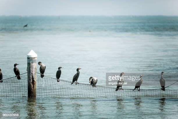 Cormorants on a net in Captiva Island