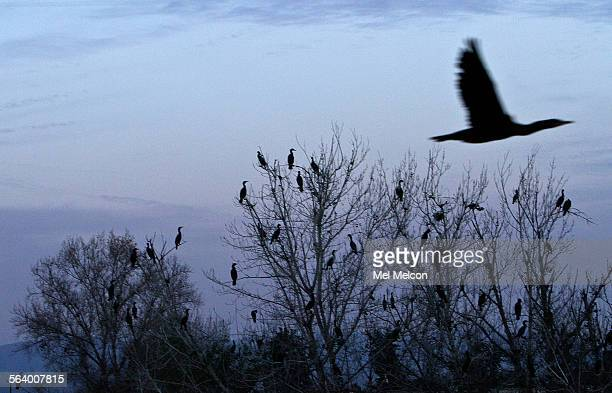 Cormorants roost on trees in a portion of the Sepulveda Basin in Van Nuys untouched by the Los Angeles District Army Corps of Engineers on December...