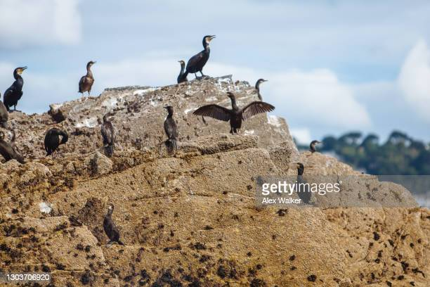 cormorants standing on rock basking in the sun - falmouth england stock pictures, royalty-free photos & images