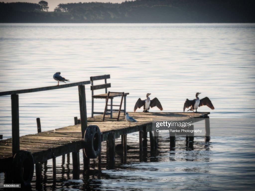 Cormorants, Usedom : Stock-Foto