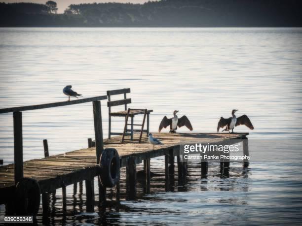 Cormorants, Usedom