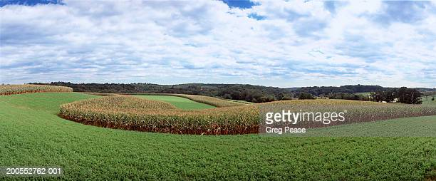 Corn and alfalfa fields