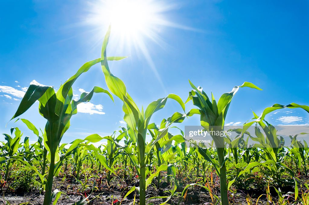 Corn and sun : Stock Photo