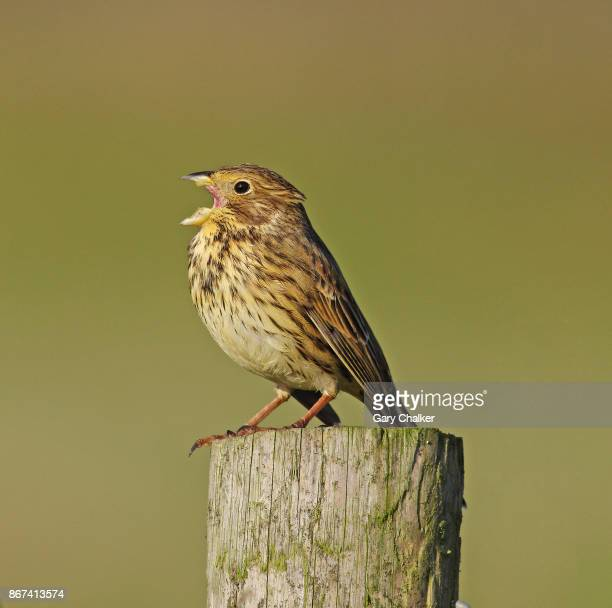 corn bunting [emberiza calandra] - birdsong stock pictures, royalty-free photos & images
