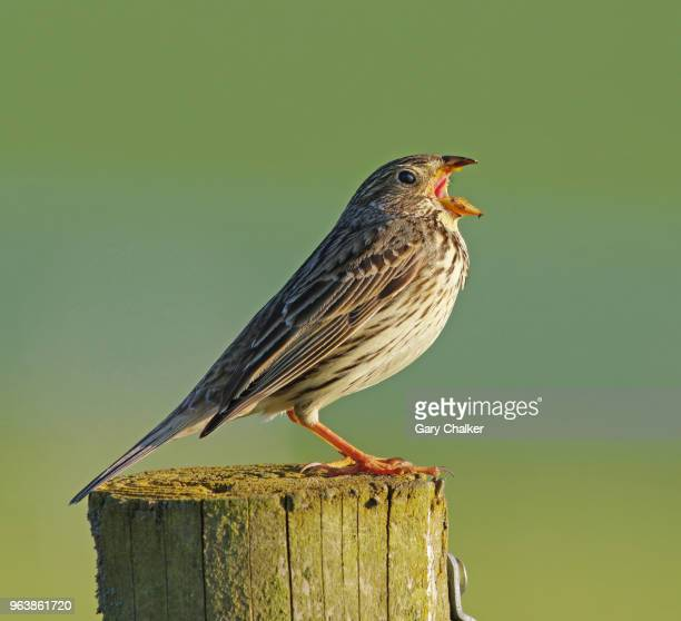 corn bunting [emberiza calandra] - bunting stock pictures, royalty-free photos & images