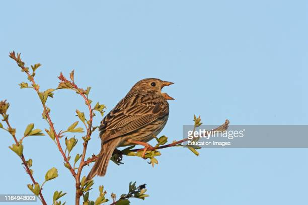 Corn Bunting Milaria calandra in song spring Norfolk UK
