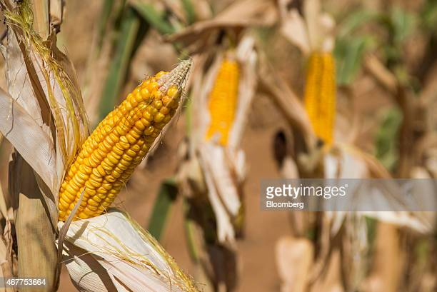 A corn cob grows in a drought affected field of maize operated by farmer Ryan Mathews in Lichtenburg North West Province of South Africa on Friday...