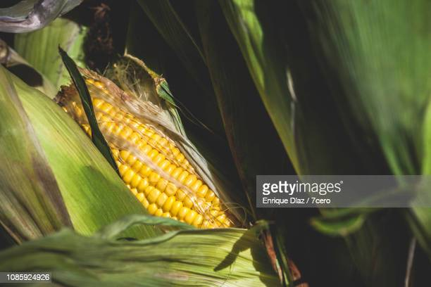 Corn Cobs in the Sunshine