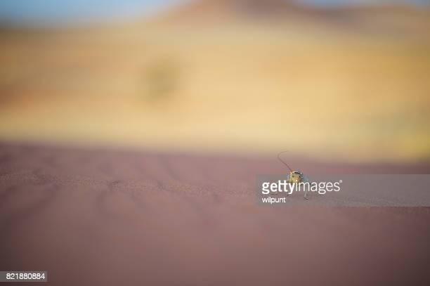 grillo de maíz caminando sobre la arena del desierto - vertebras fotografías e imágenes de stock