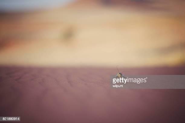 Corn Cricket walking on desert sand