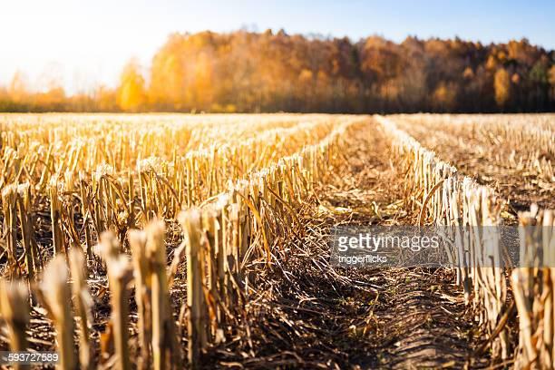 Corn crop field in autumn sun