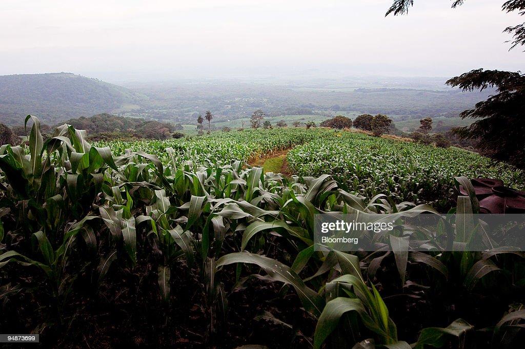 Corn Crops Grow In Sonsonate El Salvador On July 21 2008