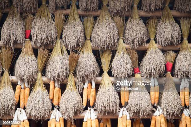 corn drying - carol schiraldi stock pictures, royalty-free photos & images