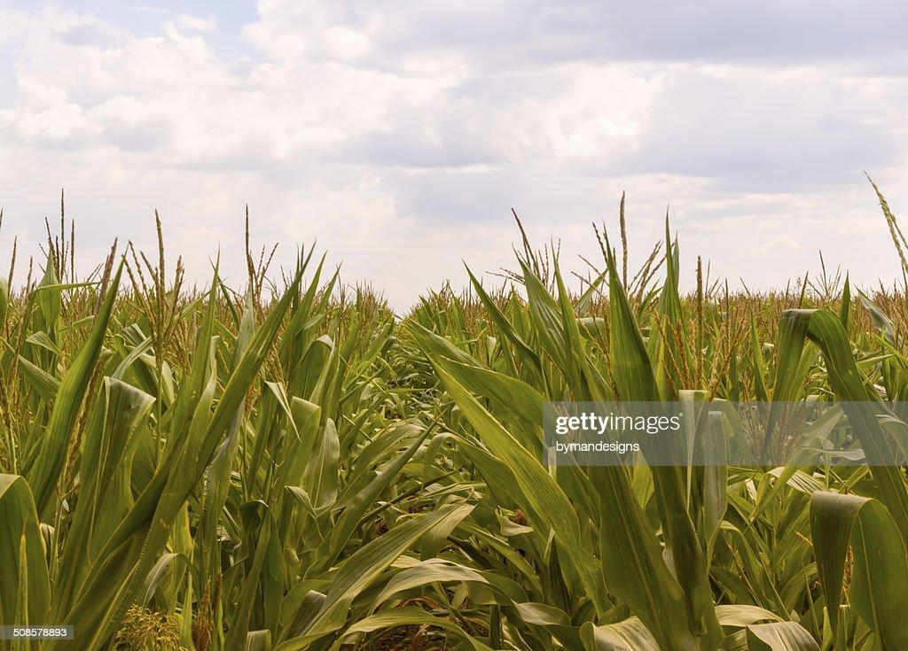 Corn farm against overcast sky : Bildbanksbilder