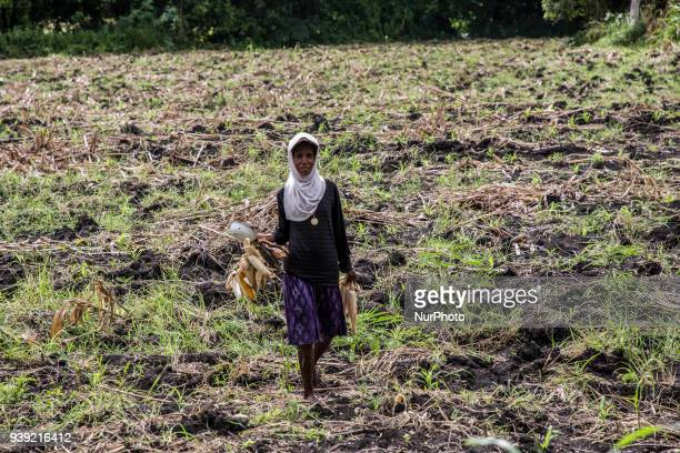 Corn farmer at Sumba as Part of East Nusa Tenggara Province in the process of becoming a province according to the Solidarity of Sumba Family in...