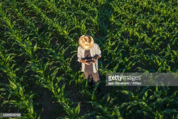 corn farmer with drone remote controller in field, novi sad, serbia - スマート農業 ストックフォトと画像