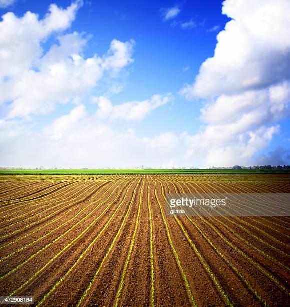 campo de milho e céu azul sobre o horizonte.   - folhagem viçosa - fotografias e filmes do acervo