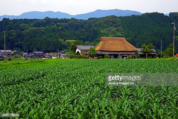 corn field and thatched roof house - 岐阜県 ストックフォトと画像