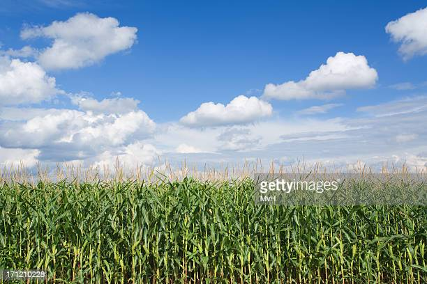 corn field and the clear sunny weather - august stock pictures, royalty-free photos & images