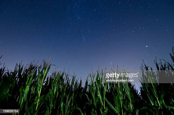 Corn field at night with stars in the sky