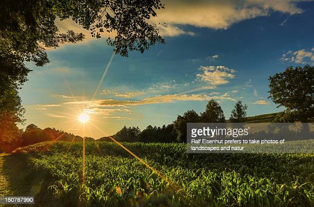 corn field at sunset - natur stock pictures, royalty-free photos & images