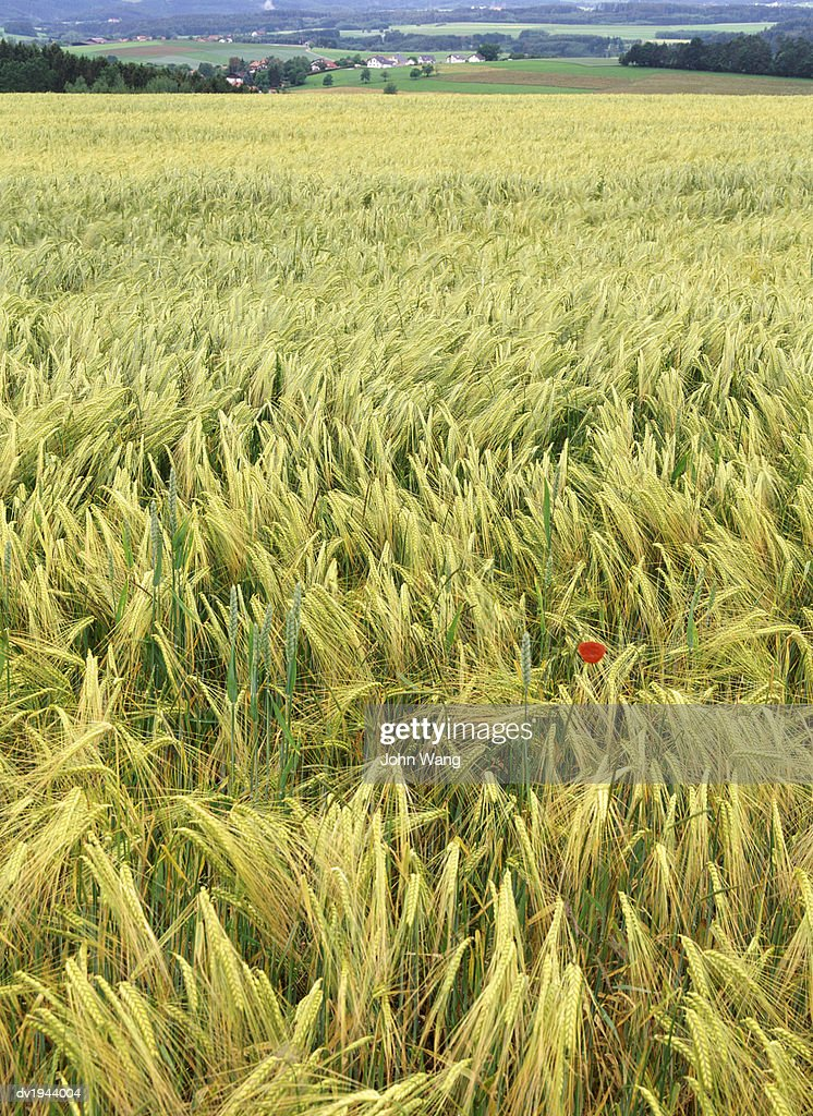 Corn Field, Black Forest, Germany : Stock Photo