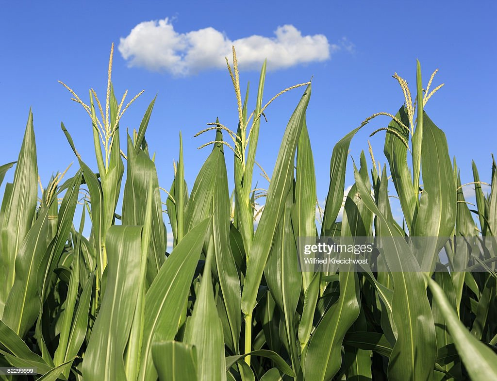 corn field, close up : Stock Photo
