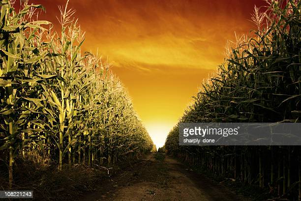corn field close-up - corn stock pictures, royalty-free photos & images