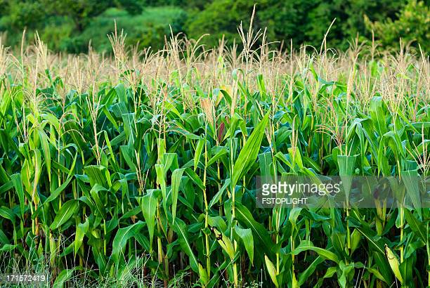 corn field - fstoplight stock photos and pictures