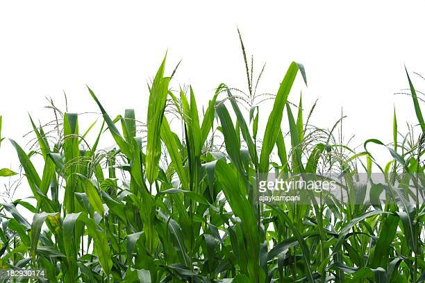 corn field. - corn cob stock pictures, royalty-free photos & images
