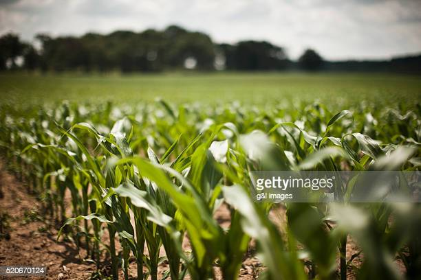 corn field - may stock pictures, royalty-free photos & images